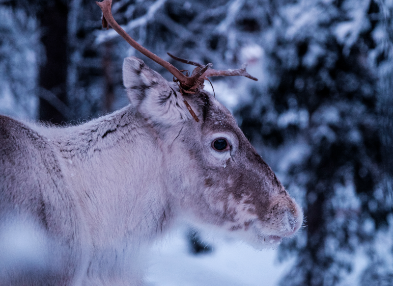 Reindeer Food – the NNAM way!
