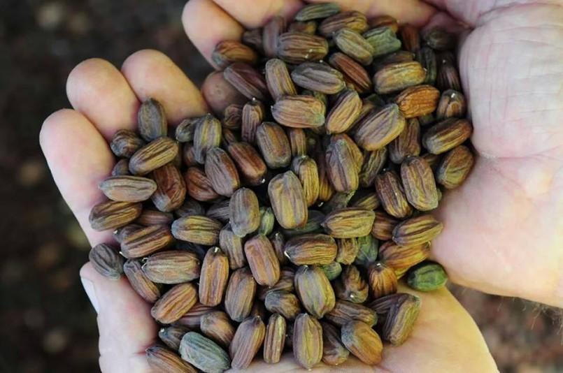 Jojoba beans